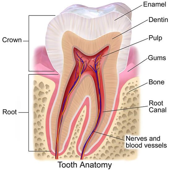 Анатомия на зъба